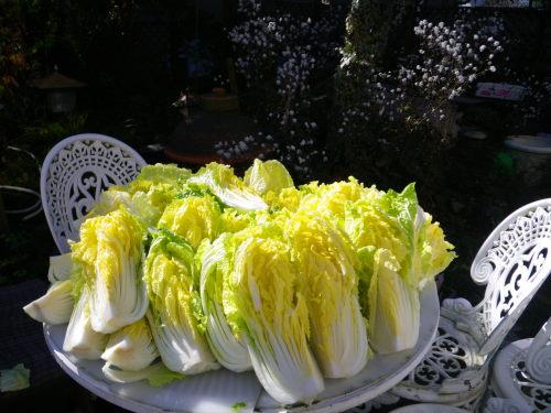 星白菜210