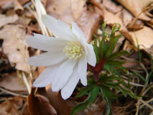 菊咲きイチゲ325