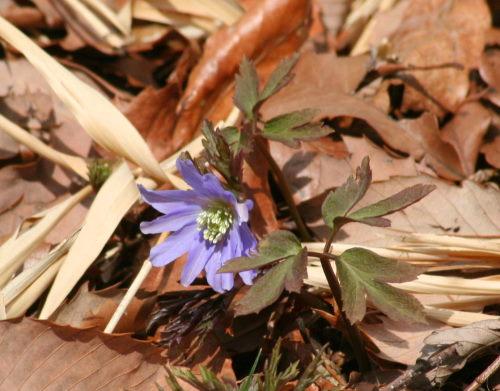 菊咲き325の1