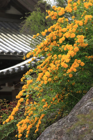 yamabuki05021.jpg