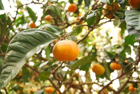 桜島みかんの木