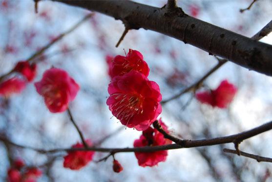 08梅の花1