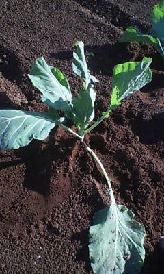 キャベツ植え