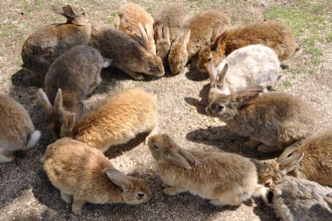 ウサギの群れ