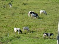 サンアルピナ鹿島槍スキー場の牛