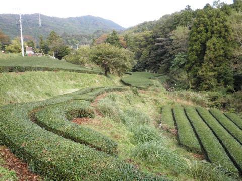 秋の茶畑25