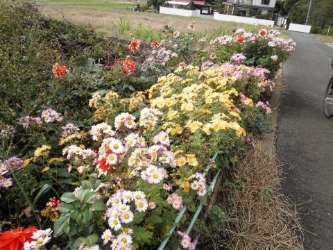 菊の花104