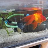 年寄りの金魚1