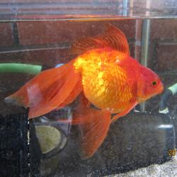 年寄りの金魚3