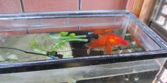 年寄りの金魚2