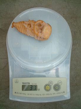 10インドBL88-A05 蛹化体重