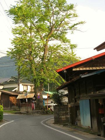 寝覚集落・桂の木