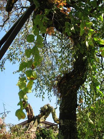 和合の枝垂梅