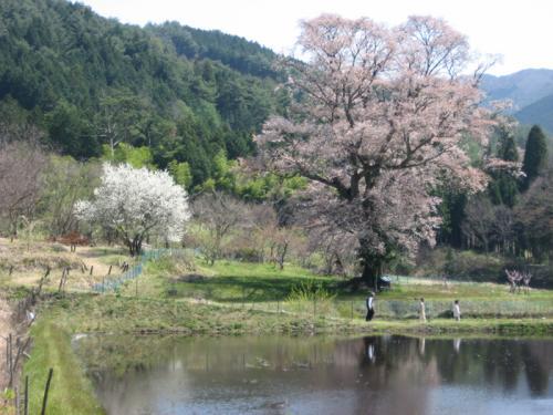 別尺の山桜の説明