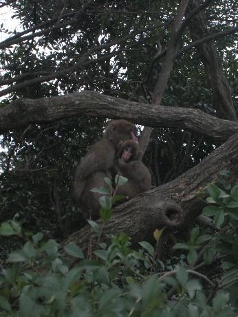 日本猿親子