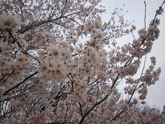 寒桜が満開です。