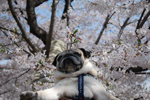 チッチ君、頭から1本桜が咲いてます。