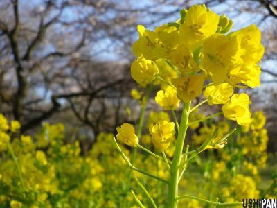 2012小金井公園桜4