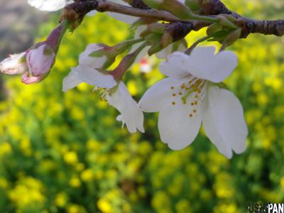 2012小金井公園桜3