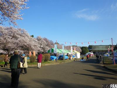 2012小金井公園桜1