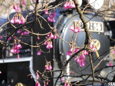 2012小金井公園桜7