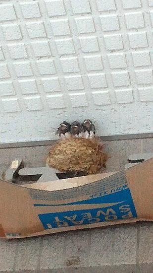 110624 道の駅いわきのWC入り口上のツバメの巣