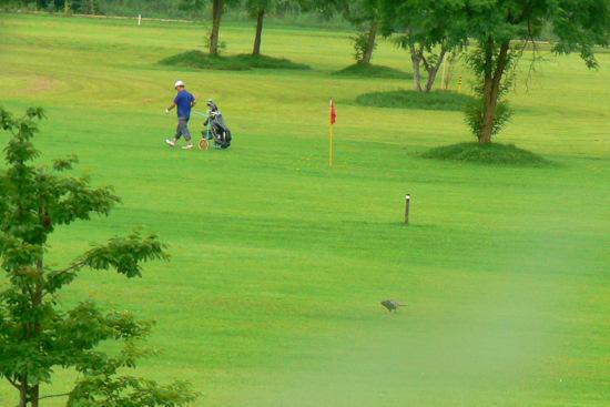 110710 ゴルフ場のキジ2