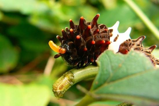 110718 ジャコウアゲハ幼虫2