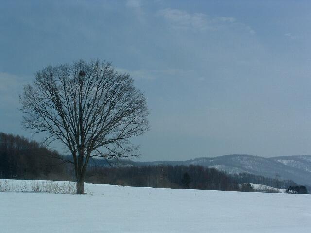 冬の楡の木