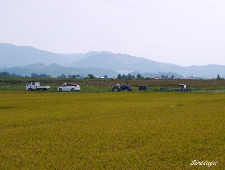 カボチャの収穫中