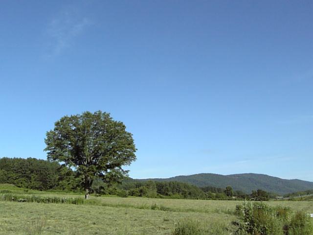 夏の楡の木