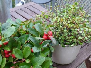 ワイヤープランツと赤い木の実