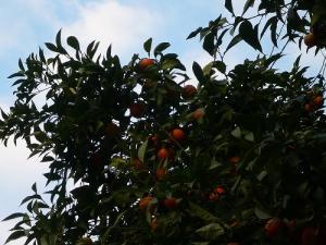 セビーリャ街中オレンジ
