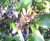 強い香りのバナナツリー.jpg