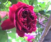 白ふちのバラ.jpg