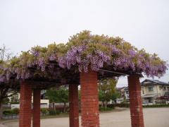 那珂川町大井公園(フジ)