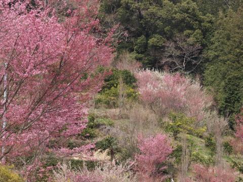 根府川のおかめ桜 '11