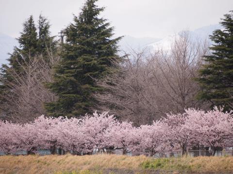 春木径・幸せ道 春めき
