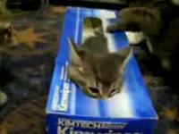 ティッシュ箱で遊ぶ子猫たち