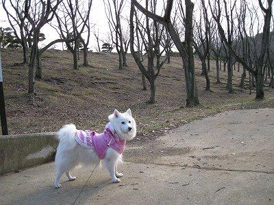 桜ですけど