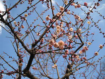 柔らかい桃色の梅
