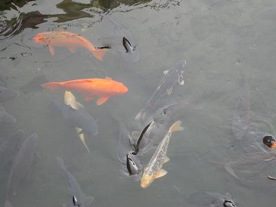 鯉もいます