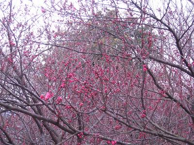梅がちらほら咲いていました