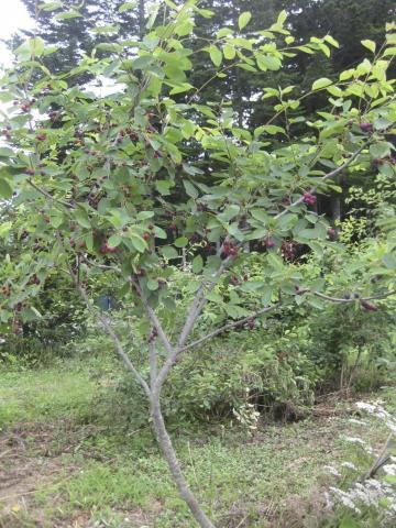 ジューンベリーの樹717