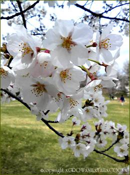 櫻 a Cherry blossom