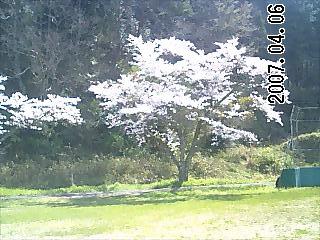 弥富中学校桜2