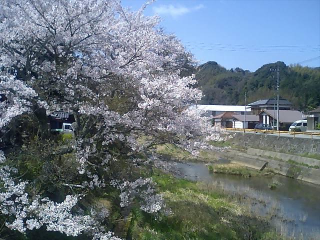 新市の桜07