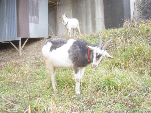 田別当の山羊3