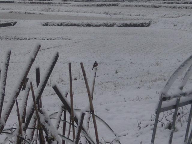 弥富の雪 鳥