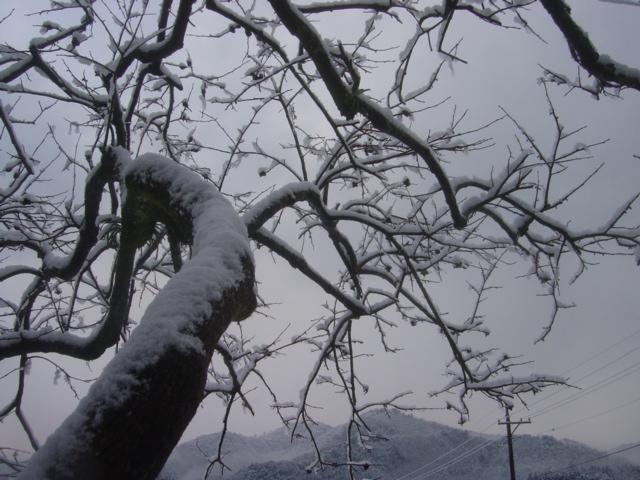 弥富の雪0701柿